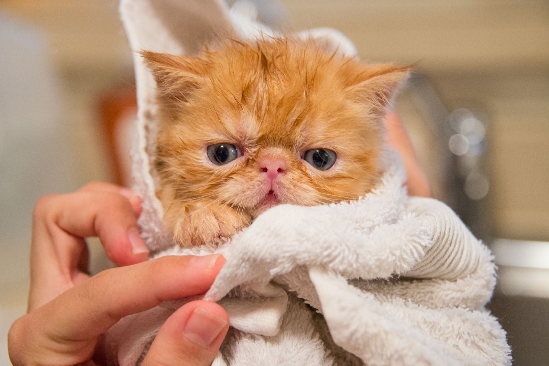 How to Take Care of Persian Cats. Persian felines are honored with an… | by  Preksha Rudani | Medium