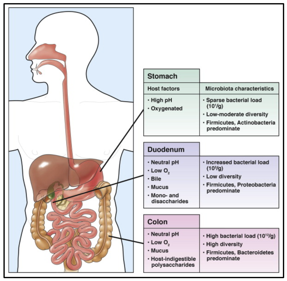 Physiological properties of the stomach.