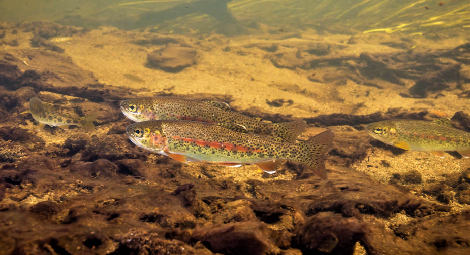 Two fish pictured underwater covered in golden speckles, with a red stripe down the middle.