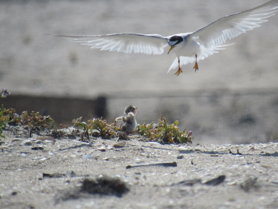 an adult black and white tern flies over to its chick who has its wings outstretched