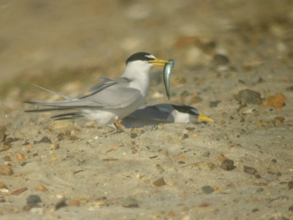 a black and white adult tern holds a fish its in mouth next to its mate who's nesting
