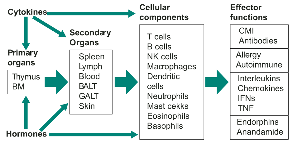 A diagrammatic overview of the immune system