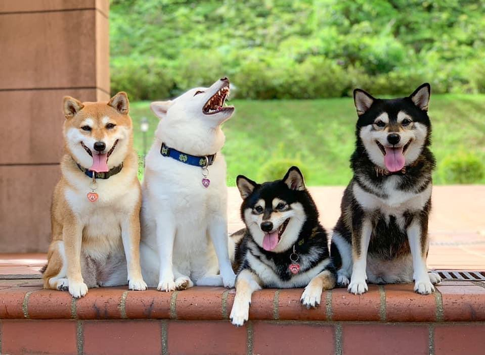 Four shiba inus pose on a ledge. Three of the dogs are smiling towards the camera, but Hina is yawning up towards the sky