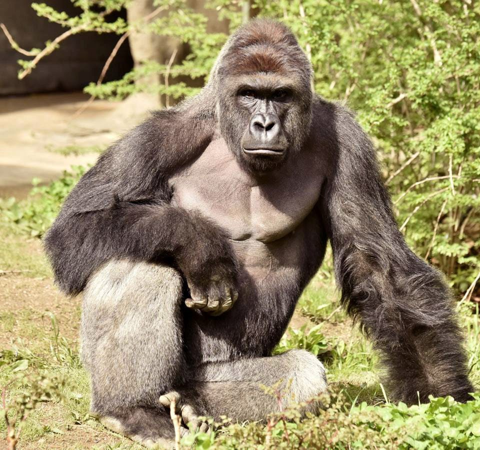 Harambe, a treasured ape became a sensation after his death.