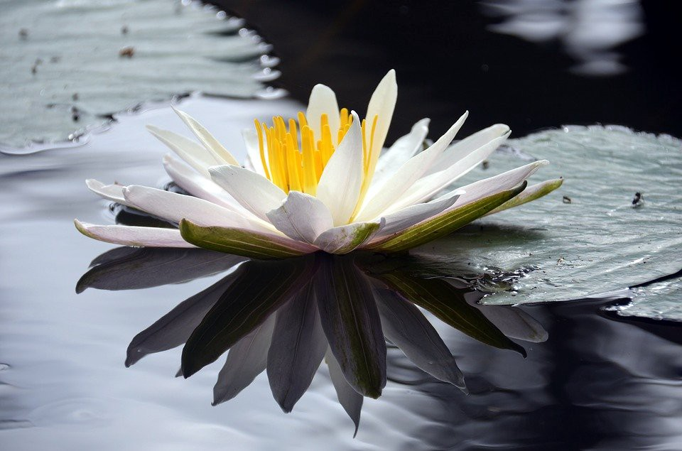 White lotus on a pond—despite having roots in the mud the flower travels through the water to bloom in the sunlight