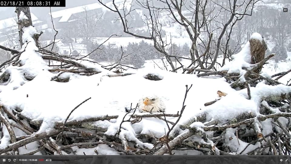 an eagle's white head sticks out from a snow covered nest