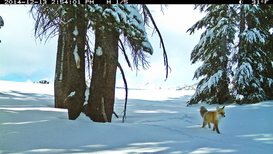 A orange and white fox walks along the left side of a snowy landscape, with three large pine trees on the right of the photo.