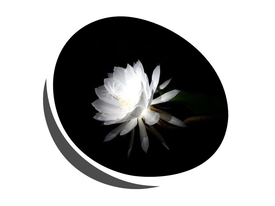 Image by By Aswin KP—Own work, CC BY-SA 4.0. Image Description: Picture of a night-blooming cereus flower in full bloom.