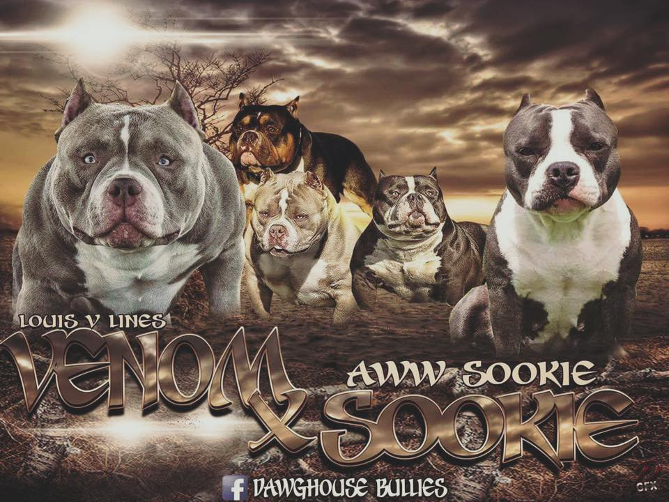 AMERICAN POCKET BULLY BREEDING - BULLY KING Magazine - Medium