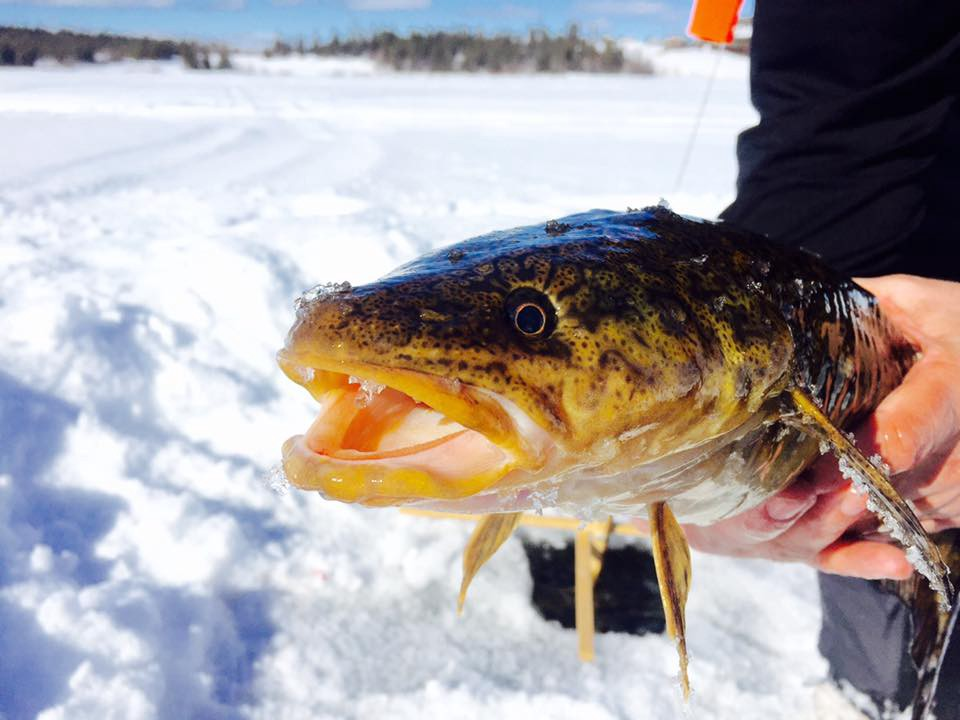 burbot caught in Alaska.