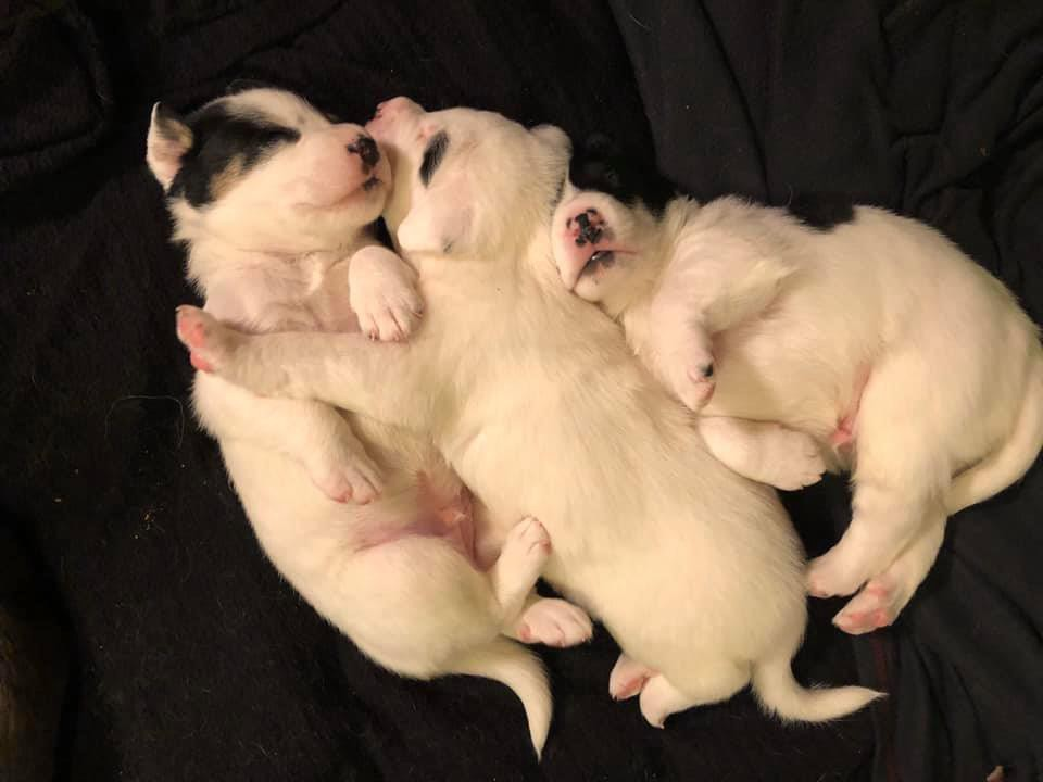 A photo of three adorable newborn mostly white puppies with black markings, cuddled together.