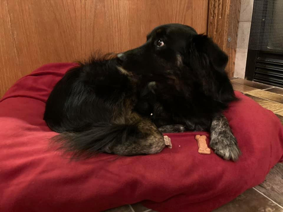 A dog sitting in her bed with a cookie.