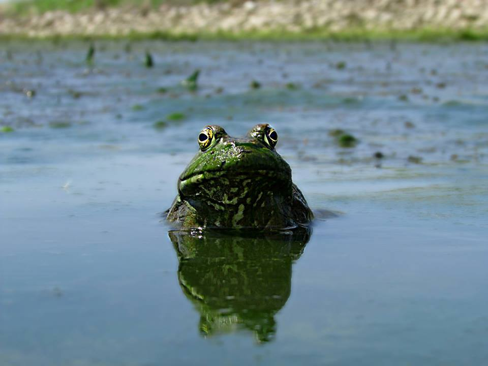 A frog is submerged underwater, and is displaying half of its dark green body and bulgy yellow eyes.