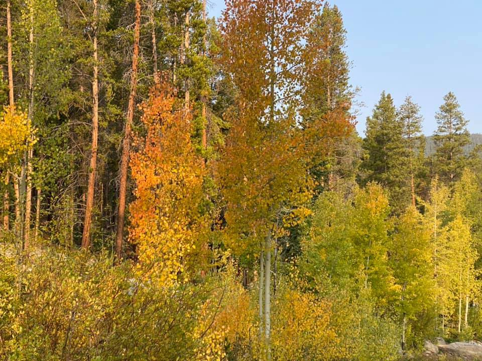A forest of tall pine trees and trees with yellow and orange leaves glow in the sun. Blue sky is visible in the background.