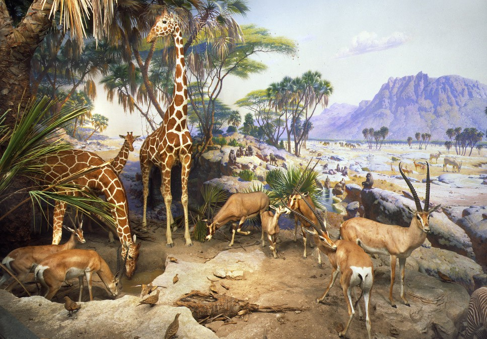 A photo of a museum diorama with taxidermy animals including giraffes and elk