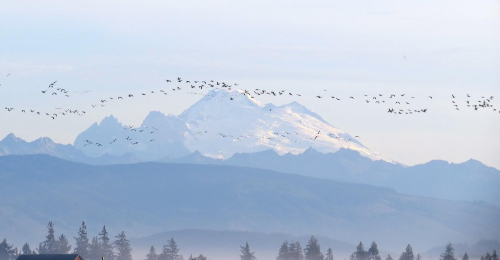 Photo of snow geese flying with Mt. Baker in the background