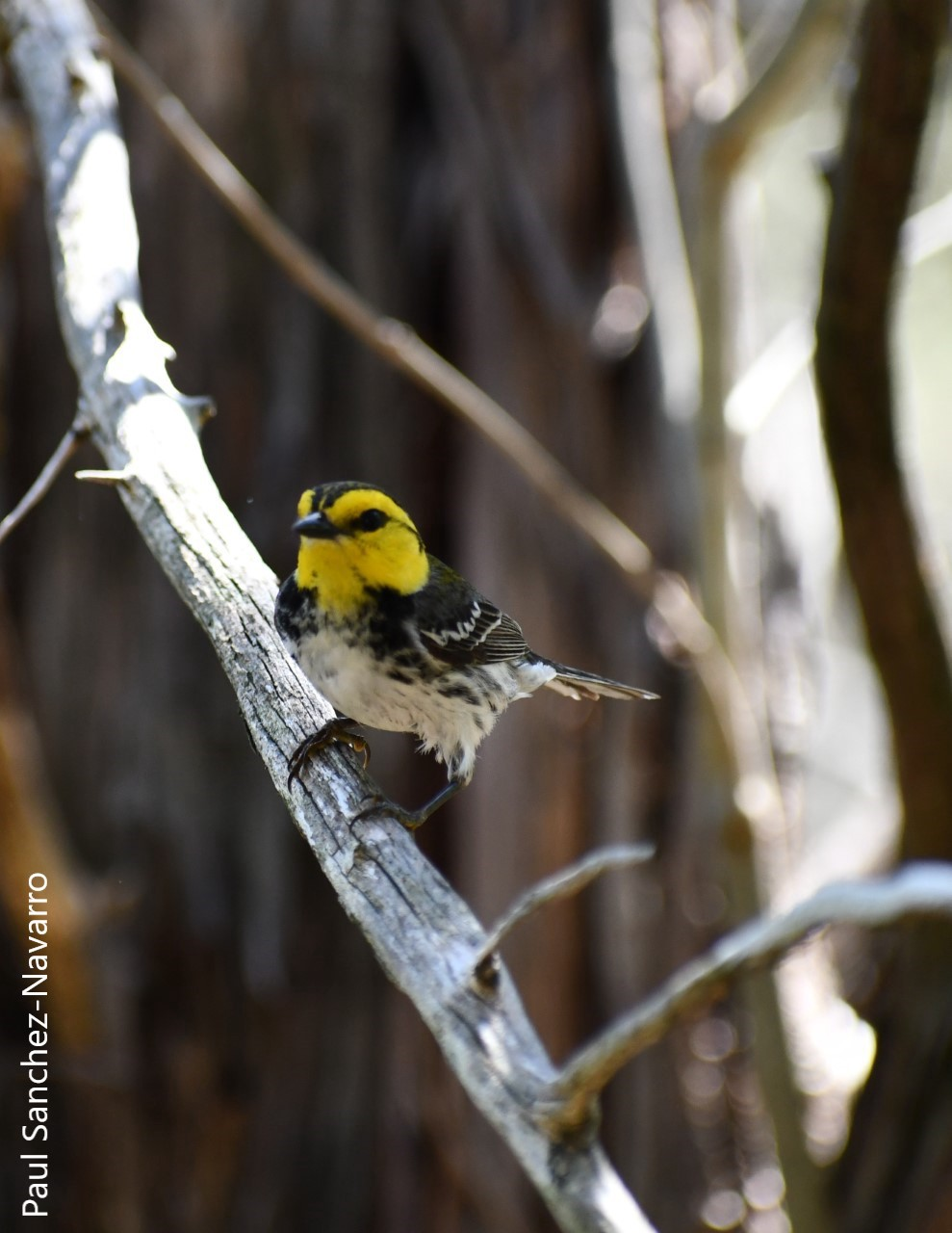 Golden-cheeked warbler survey in Texas