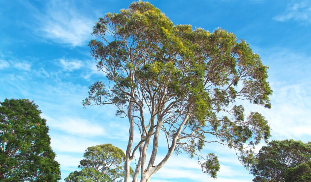 How eucalyptus trees could save the native forest in Paraguay   by ...
