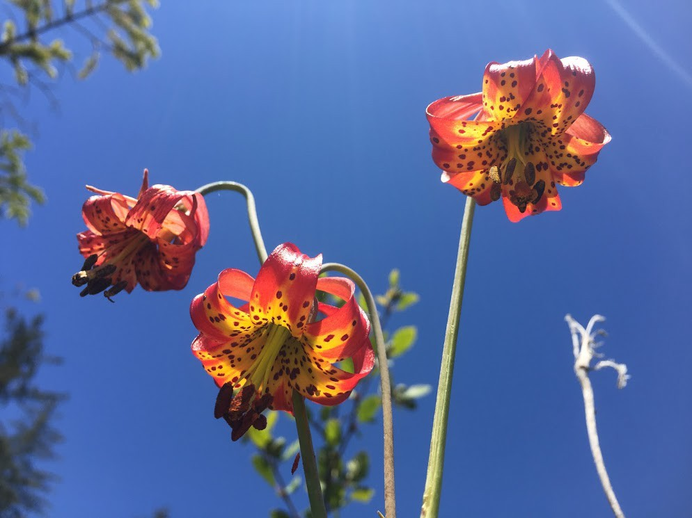 three western lilies, flowers are red with yellow insides and dark speckles
