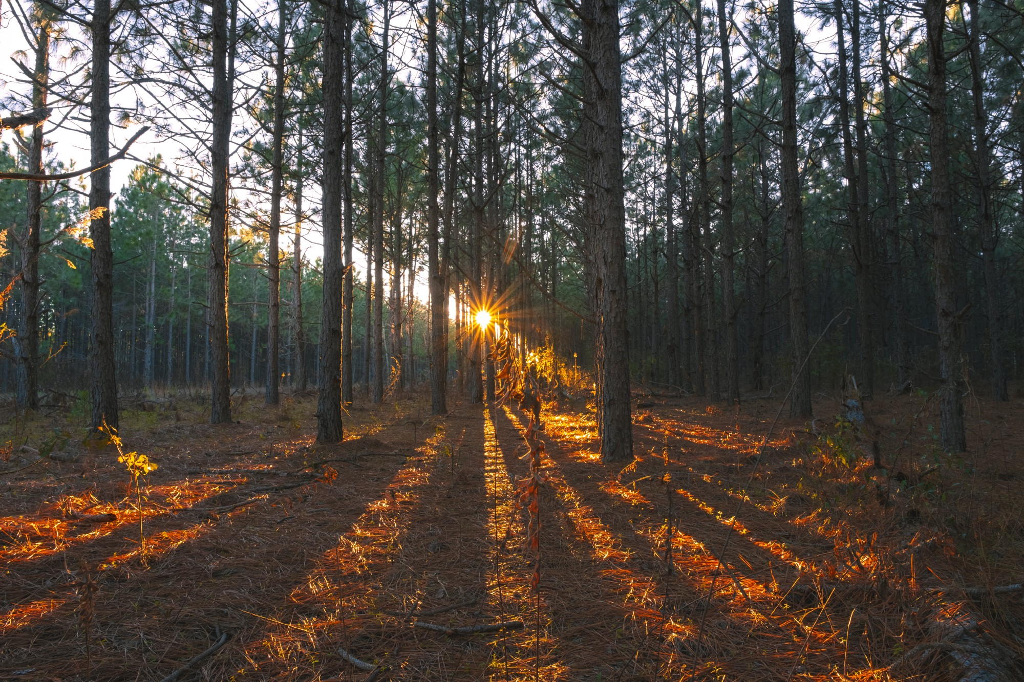 Sunrise shining in dramatic rays through trees onto the forest floor on a bright sunny day.