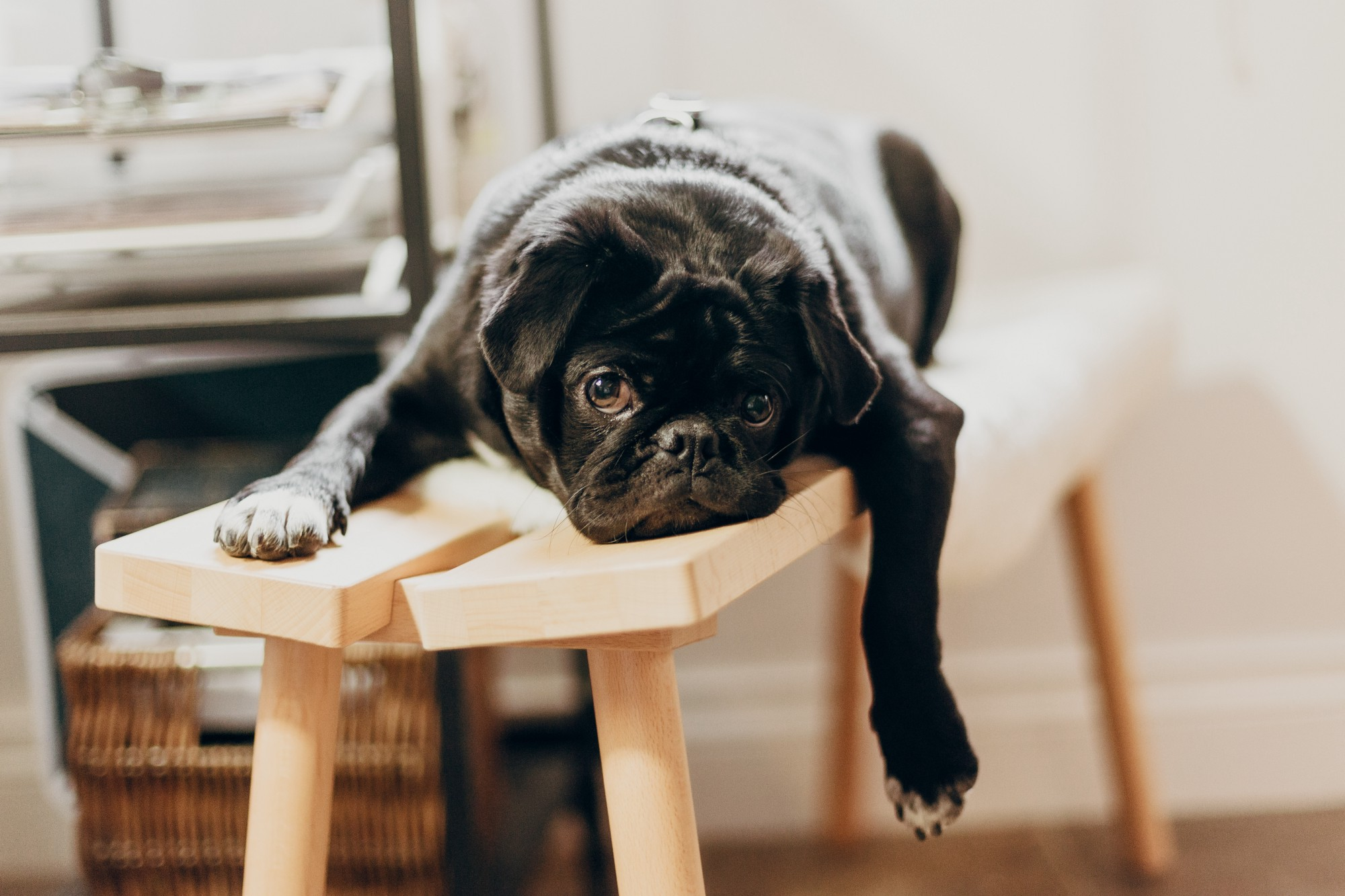 A black dog sitting on a light wooden bench