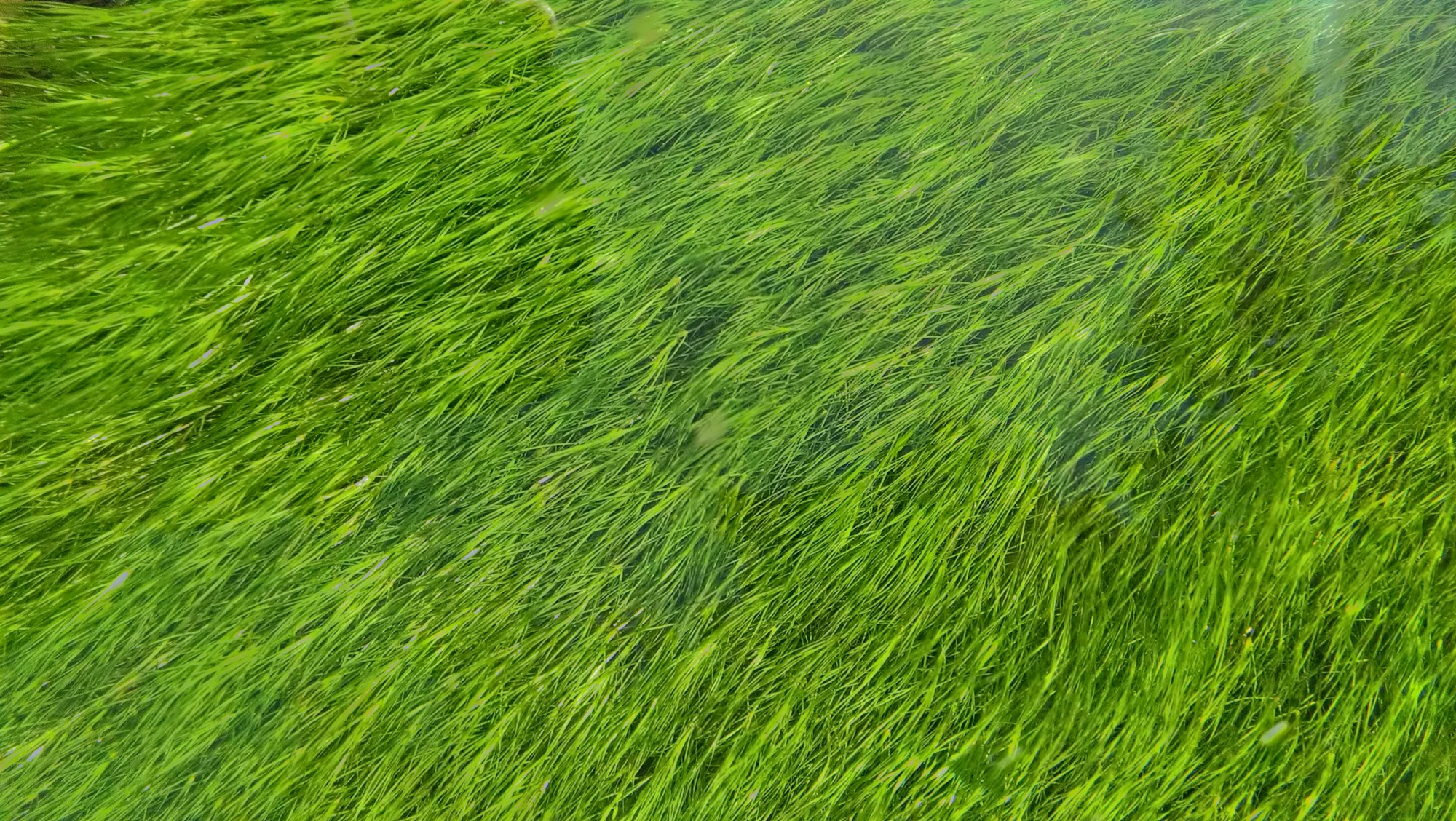 Wind blowing healthy green grass in a field