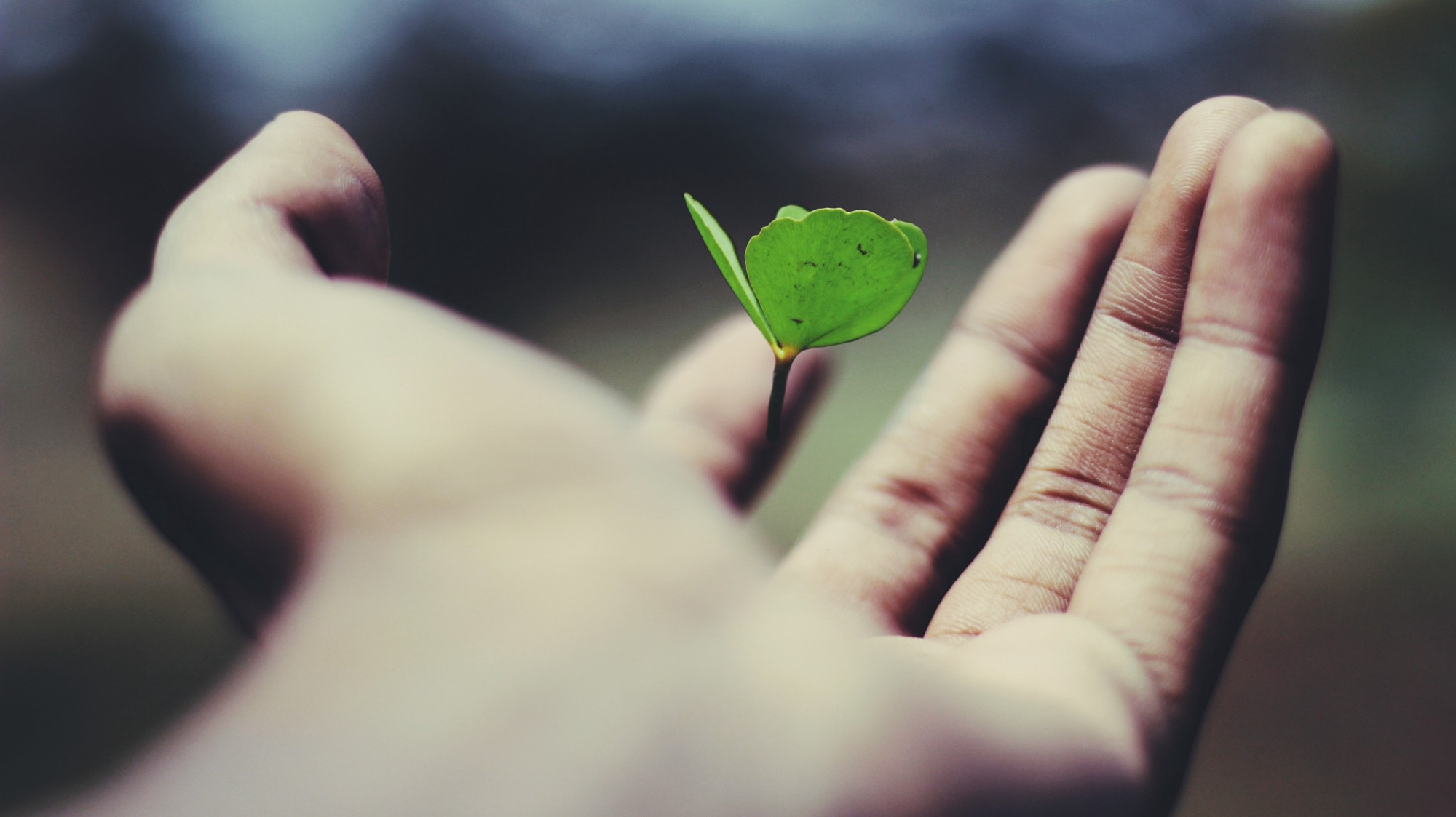 A small green sprout with 3 leaves falling into an open hand