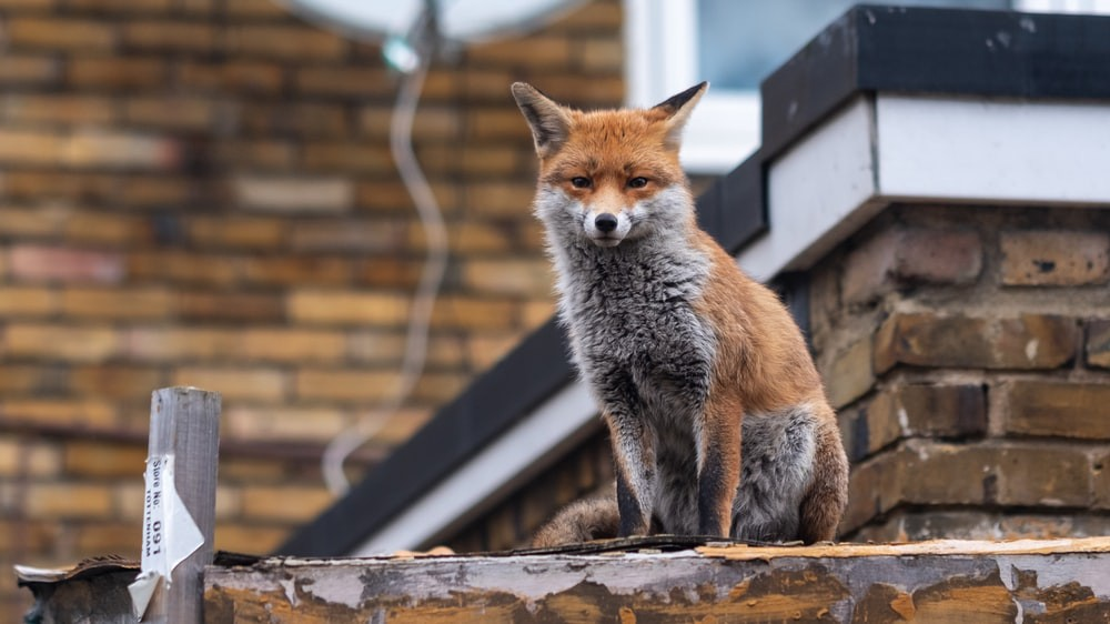 An orange and grey fox sits on a wall in London, looking intently—even insolently—at the photographer.