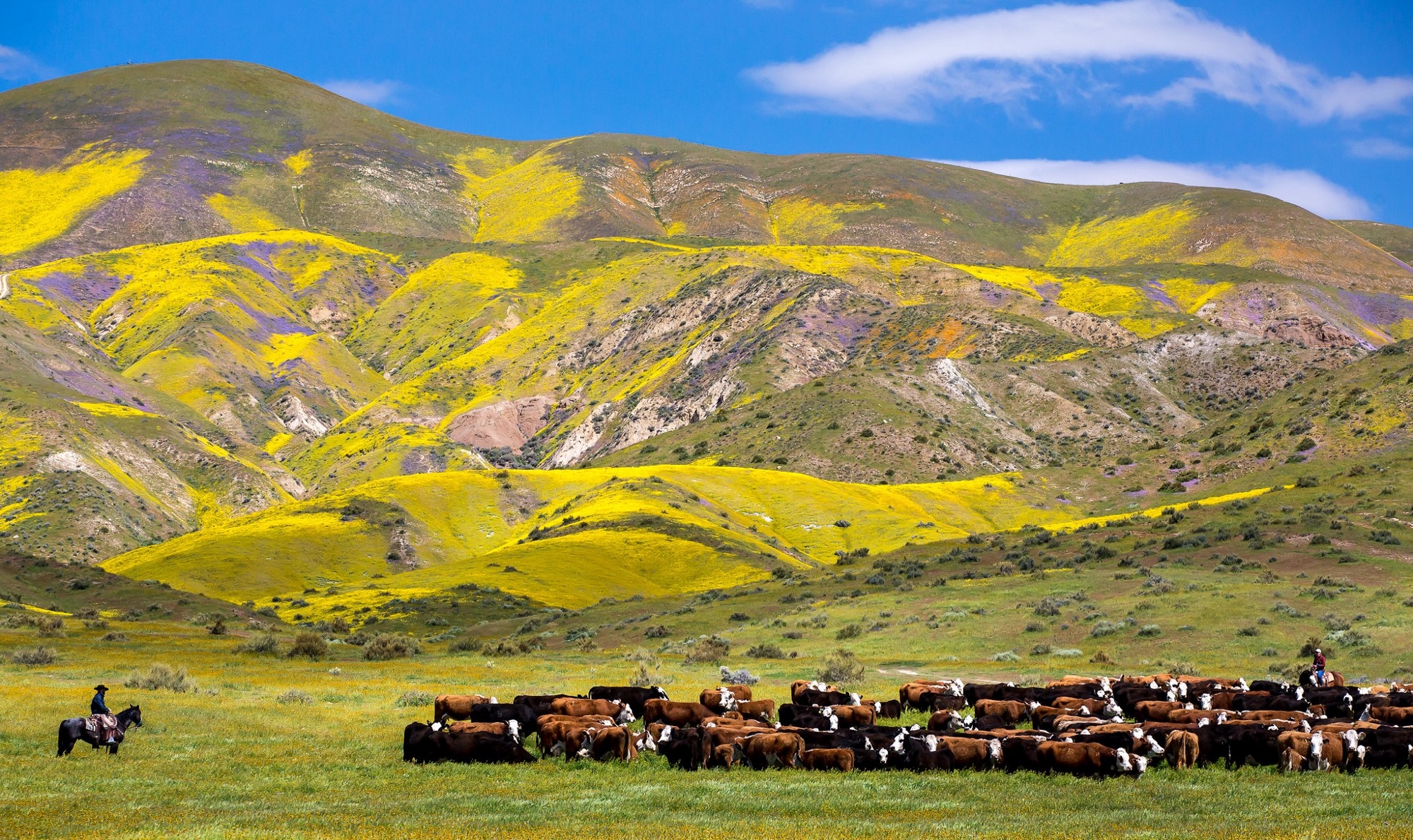 Carrizo Plain National Monument with cattle