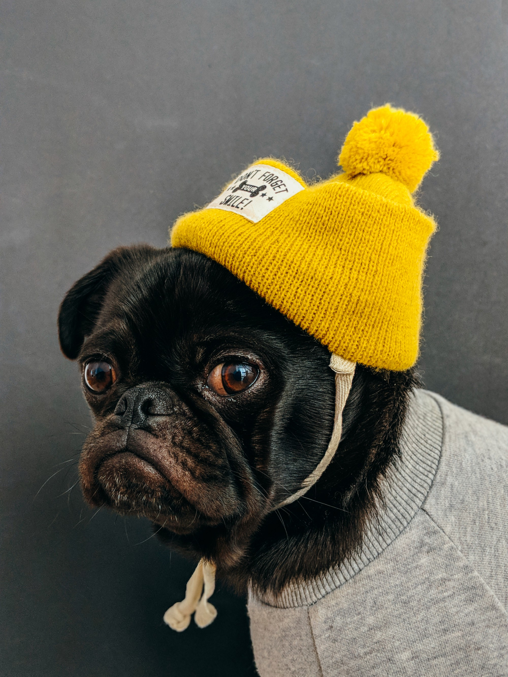 A pug wearing a bright yellow toque