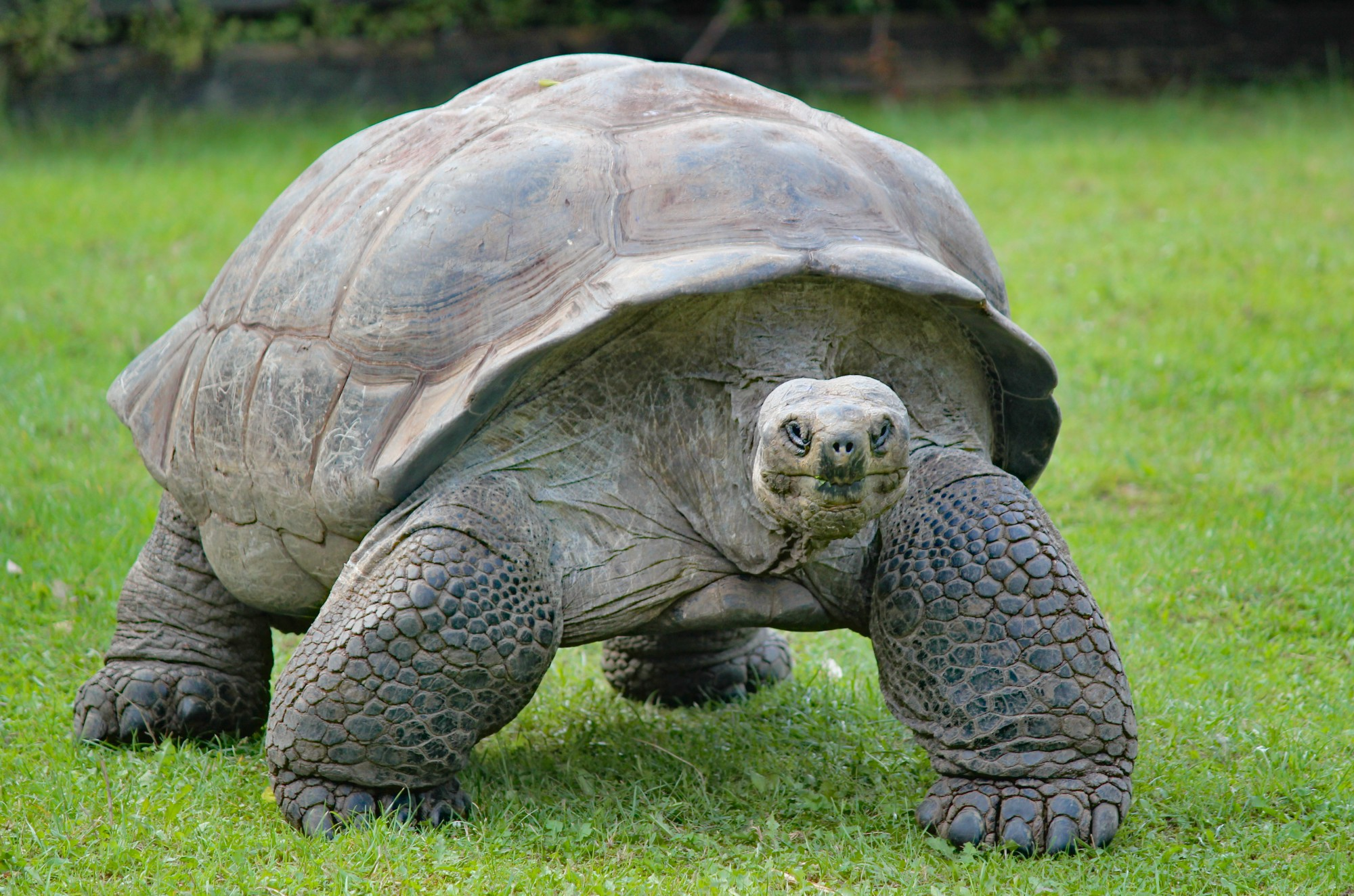 A big tortoise ambles toward the screen, possibly hoping you have a banana, but certainly very determined to expand Medicaid.
