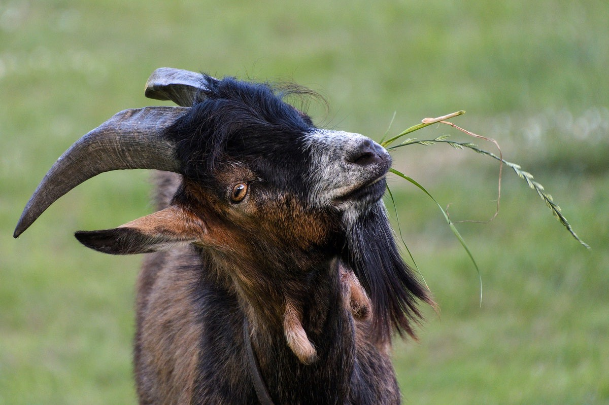 A goat with grass in its mouth
