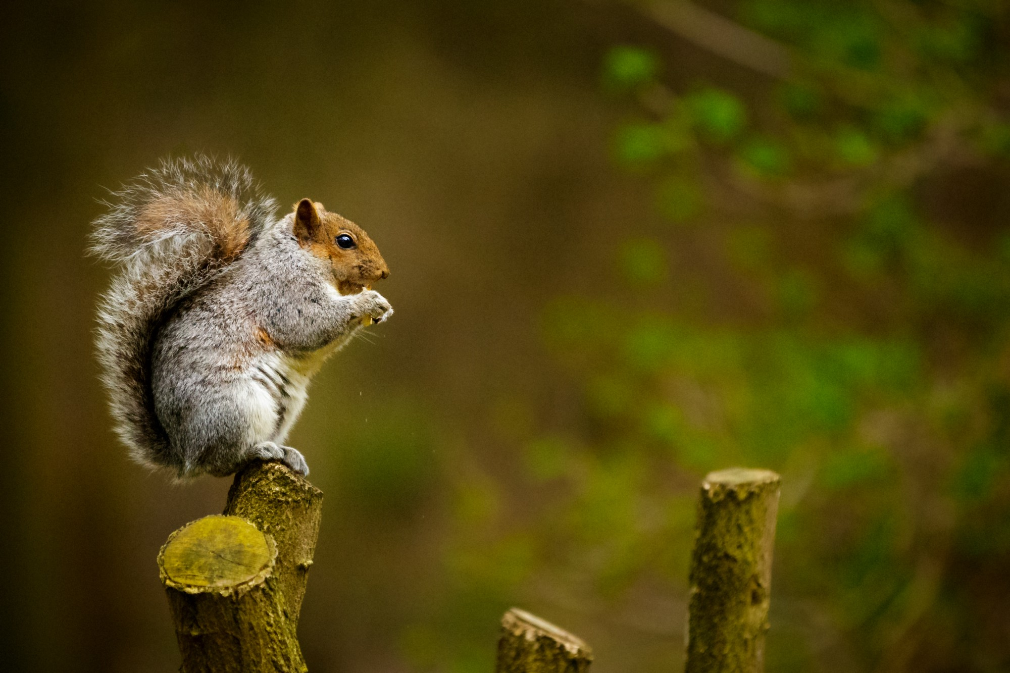 squirrel, resting on a tree stump