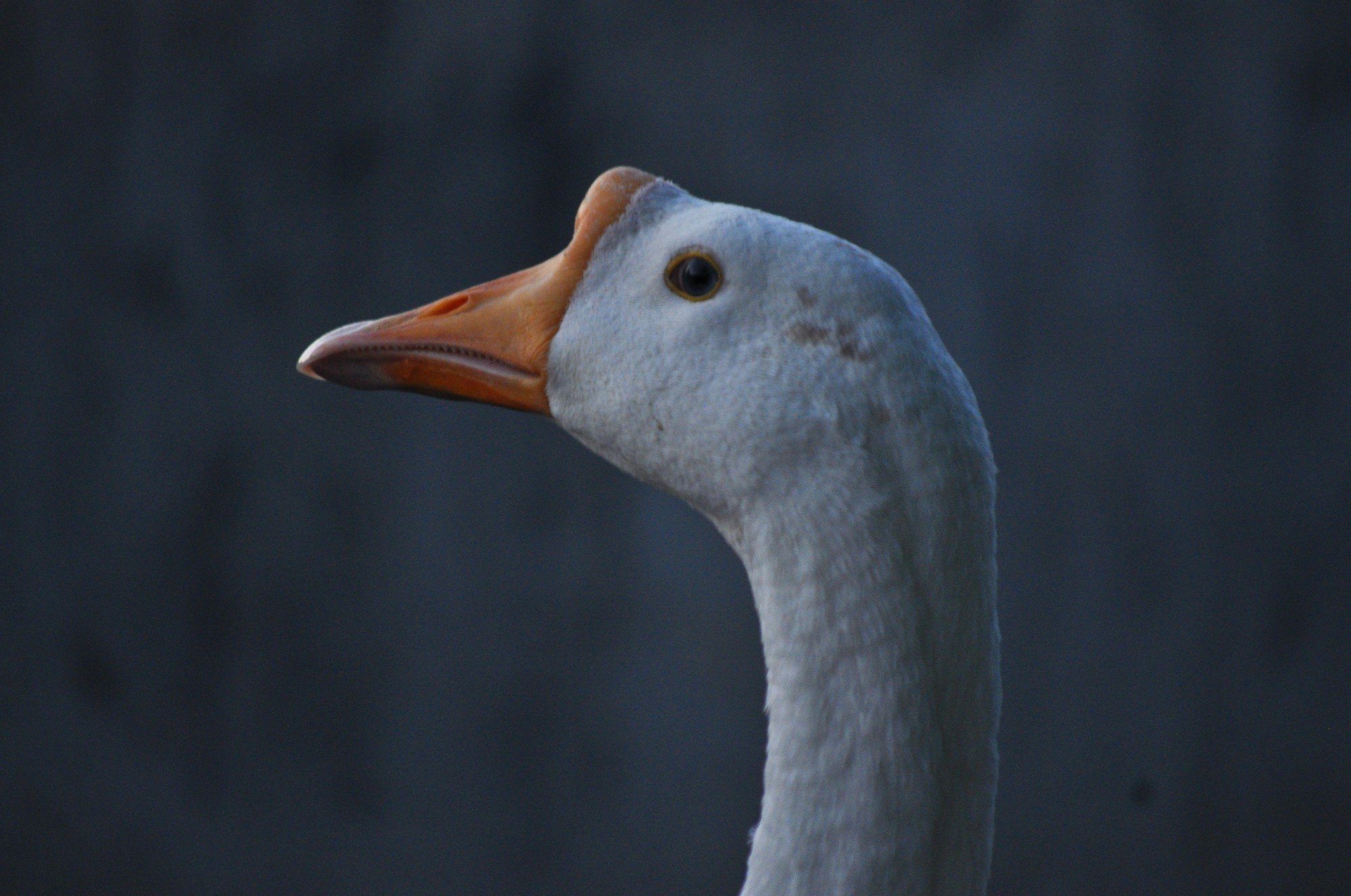 A duck image
