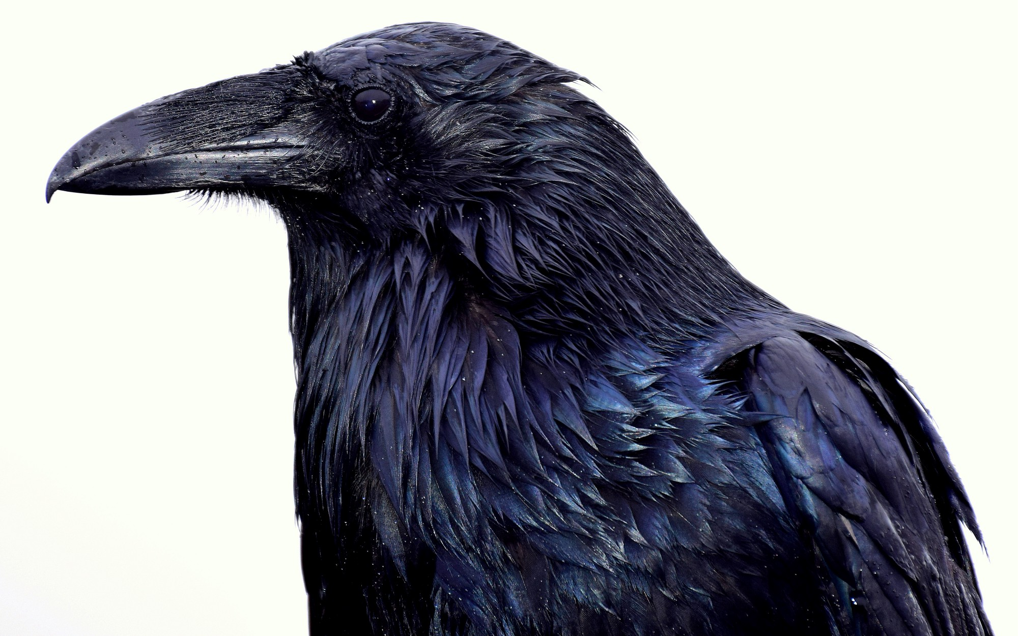 A frightening crow
