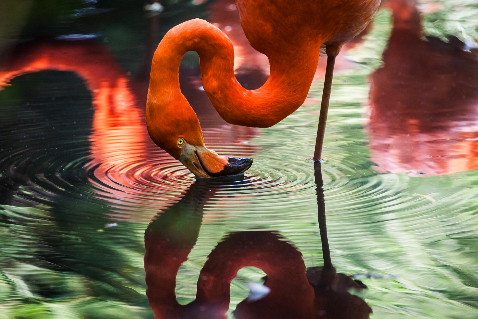 a flamingo who sees himself as reflection on water
