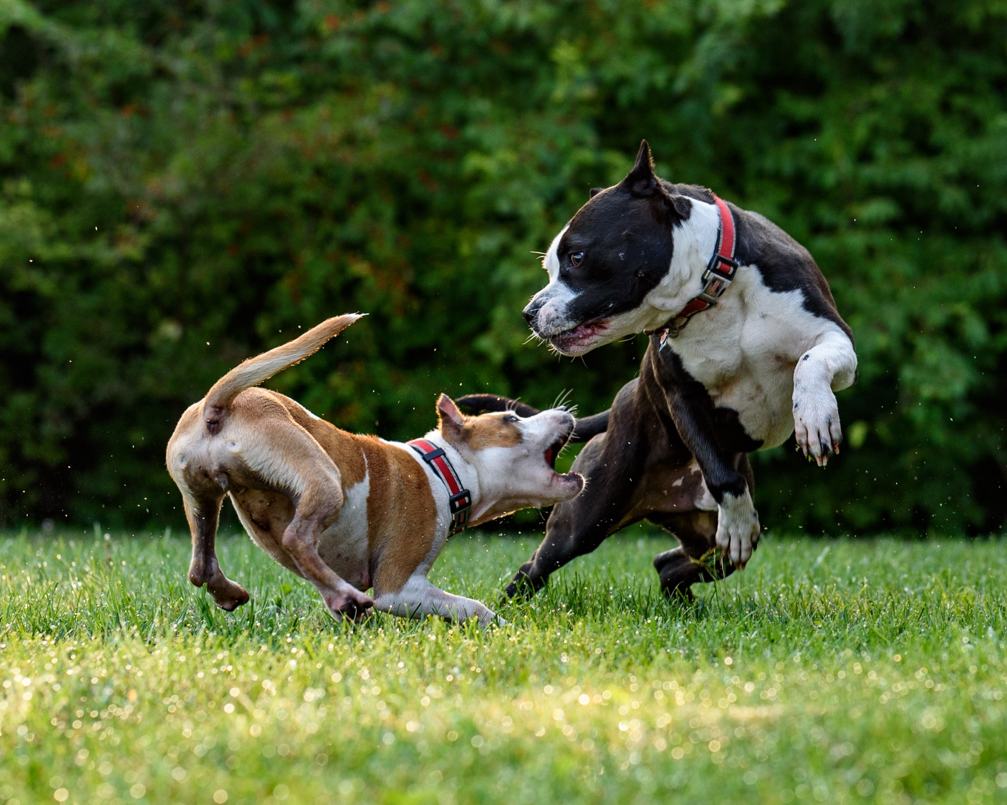 Two small muscular dogs, one brown and white, one black and white with matching red collars, chasing and biting at one another in the grass