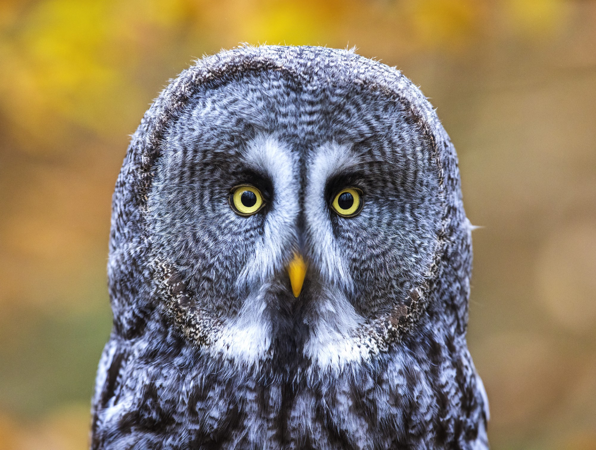 headshot of an owl, staring right at you