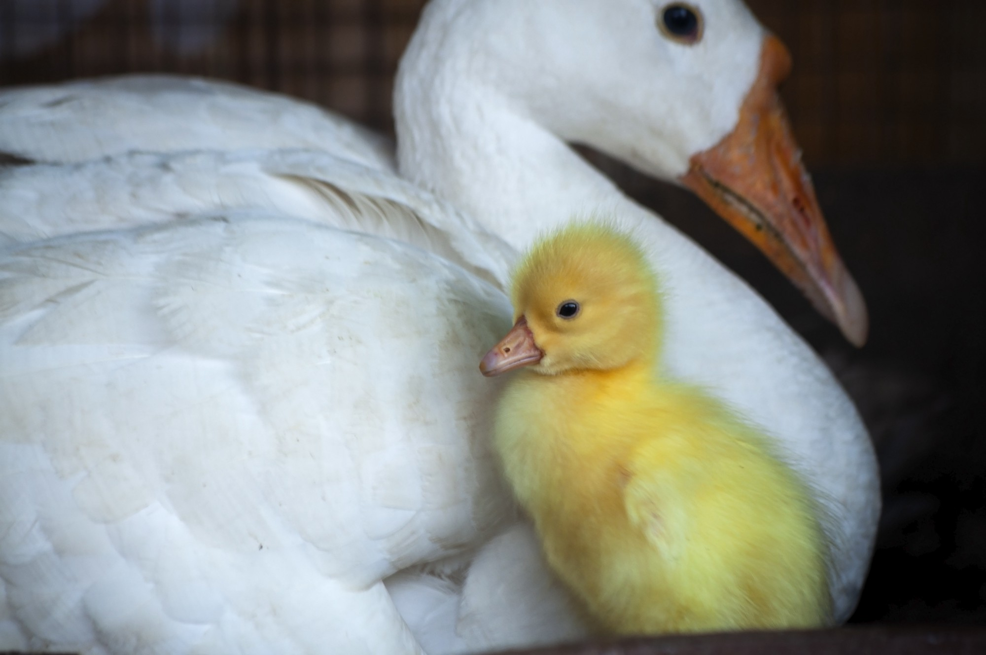 Mother duck and baby duckling.
