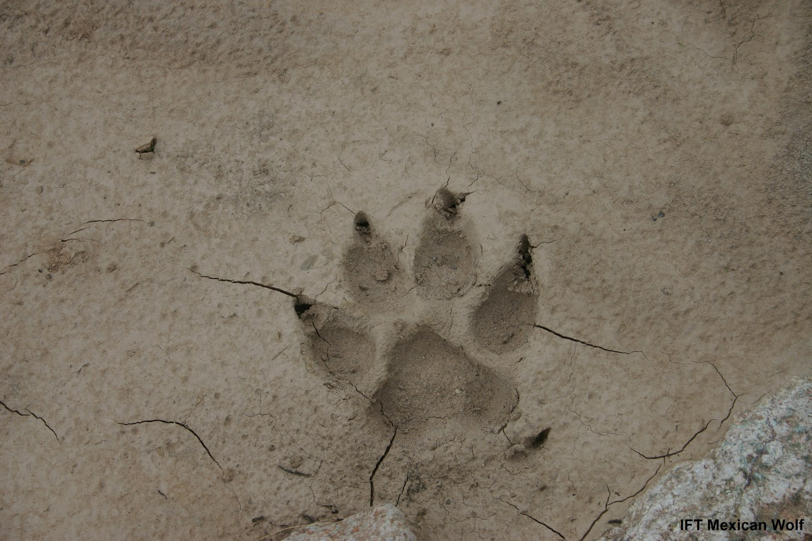 A wolf track in dried mud