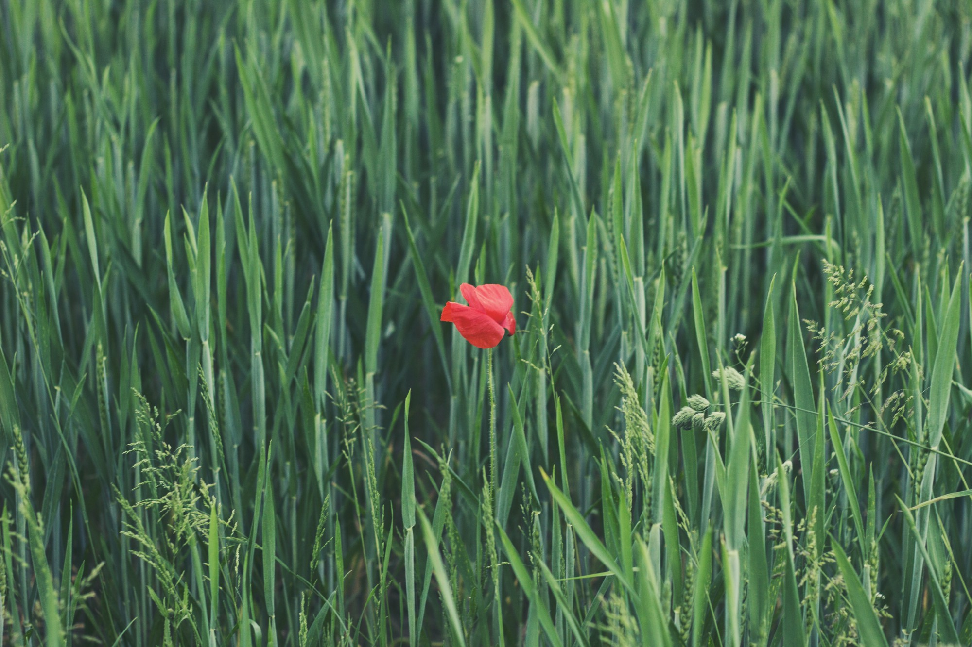 A filed of green grass with a flower in striking red color right at the middle.