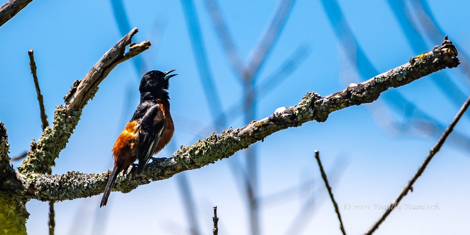 Orchard oriole.