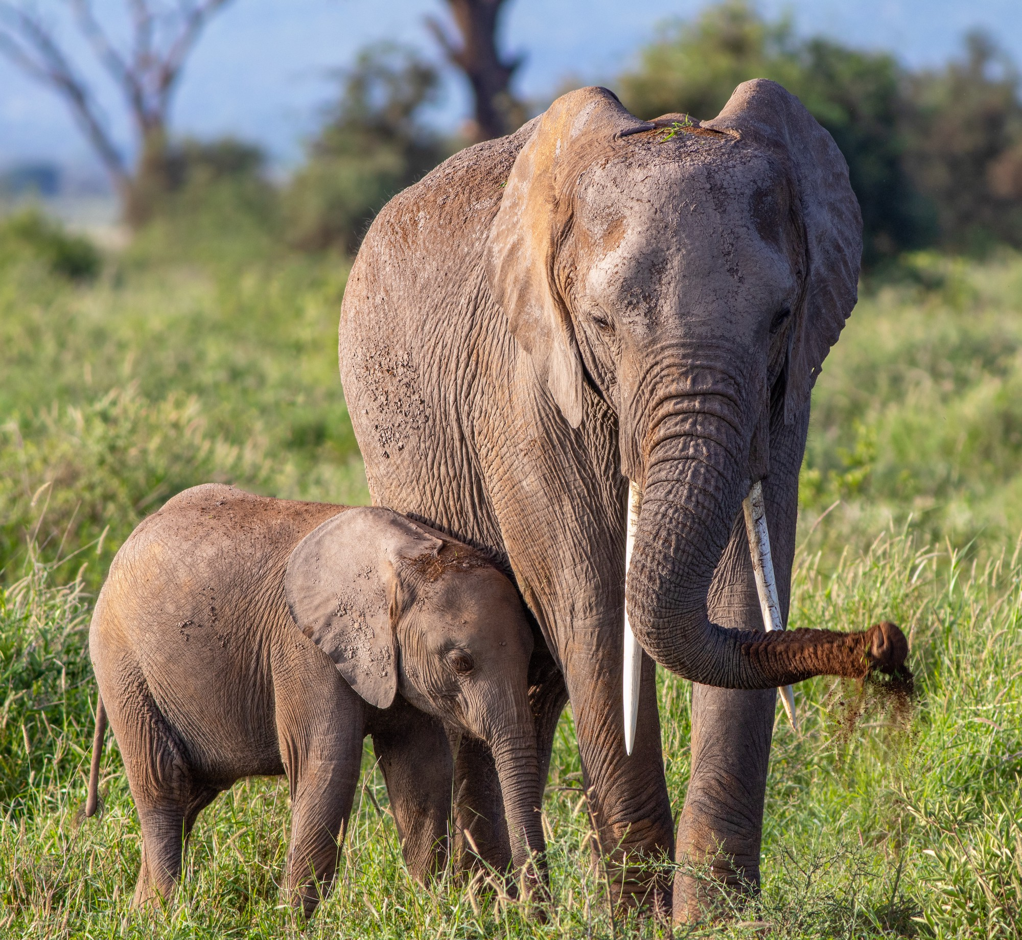 an adult elephant and a baby