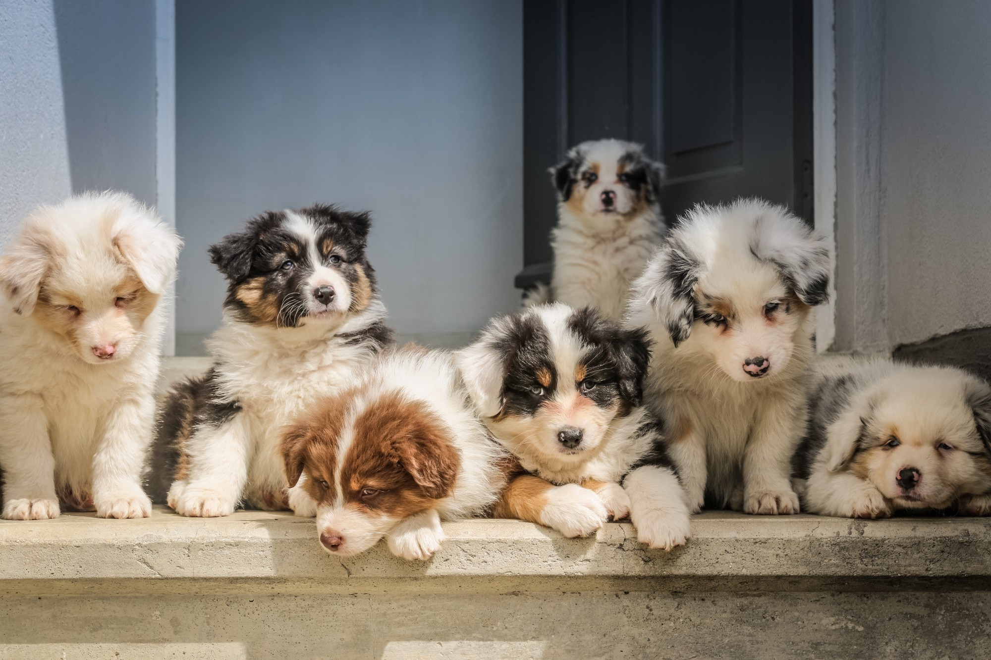 Seven fluffy puppies resting on door step, all cute!