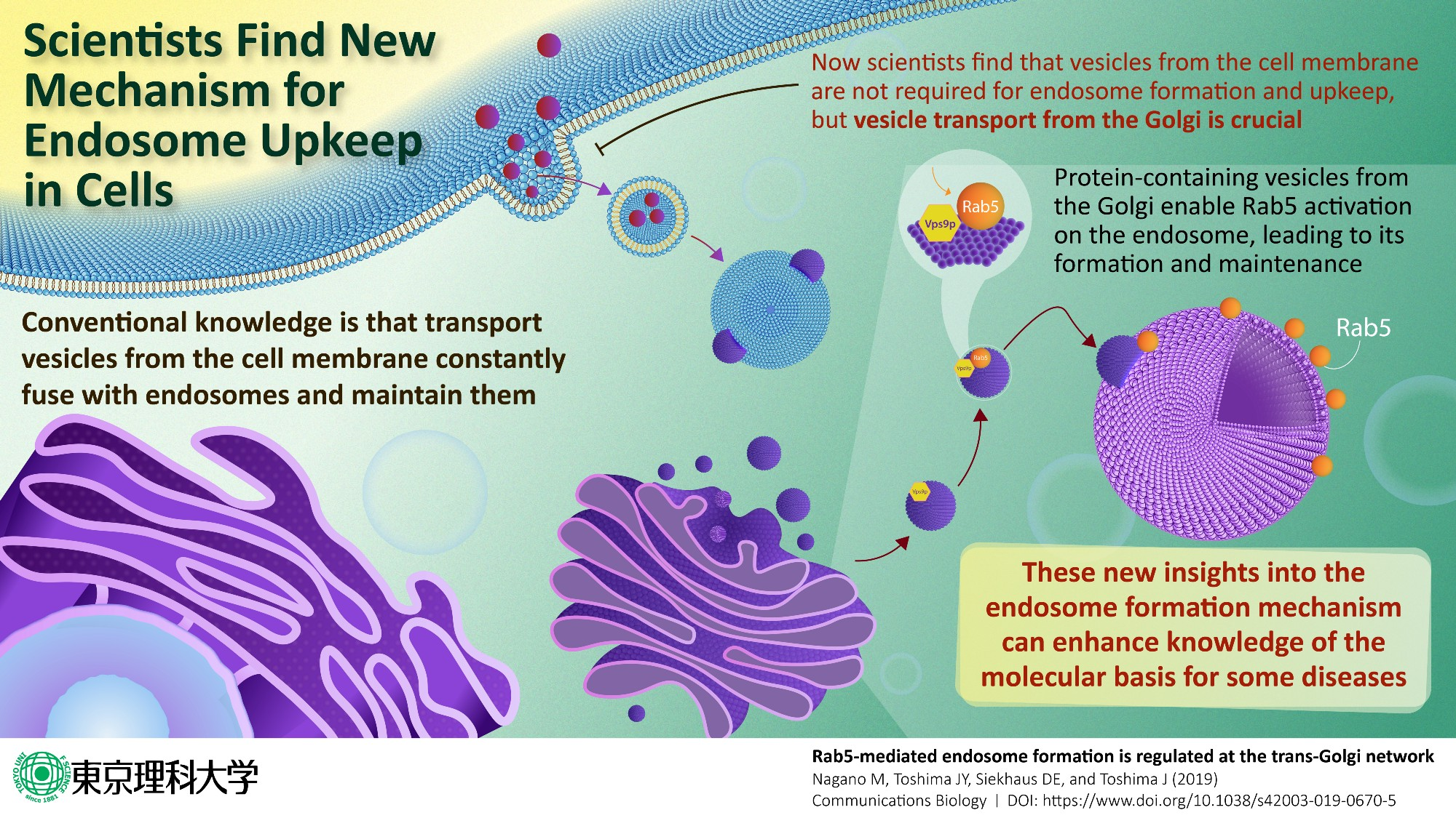 Formation & maintenance of the Endosome are governed by a newly discovered cellular mechanism