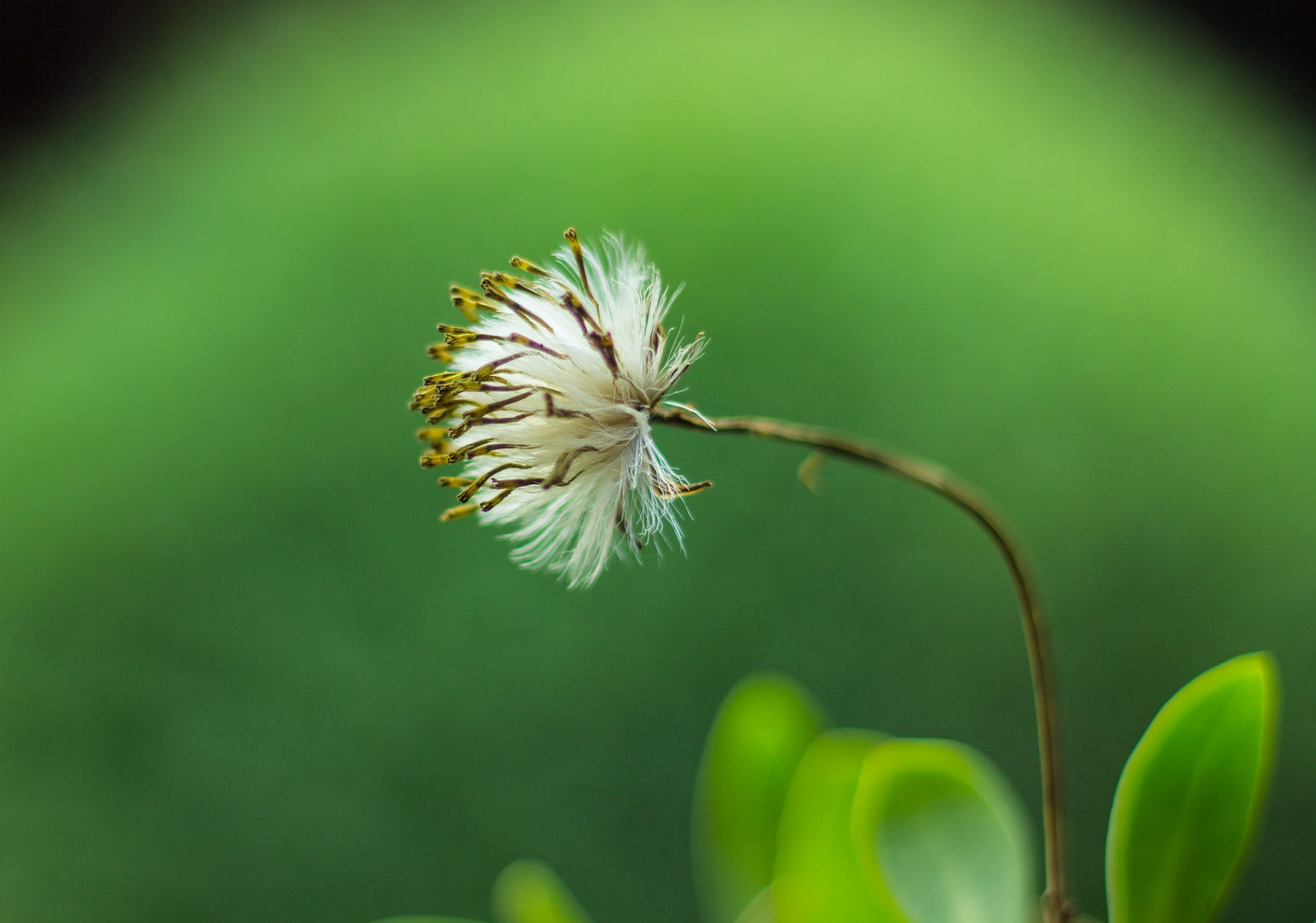 An aging dandelion with white tufts, ready to be blown away, in blurry green background with, blurred leaves.