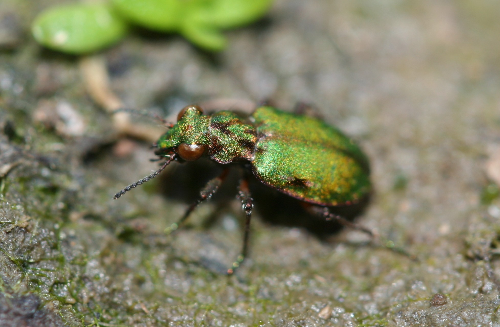 a green iridescent beetle on the ground