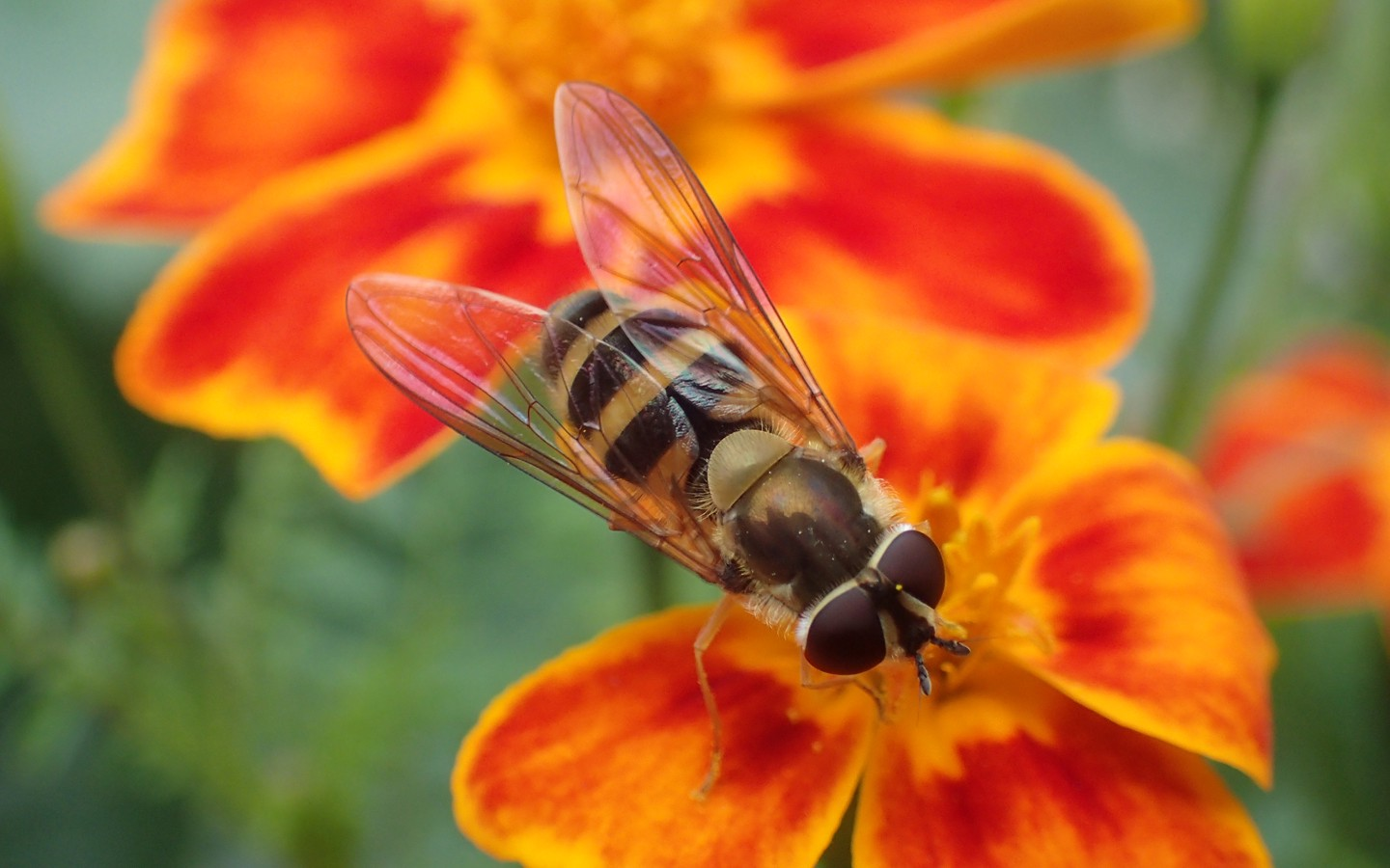 a bee look-alike fly on a red flower