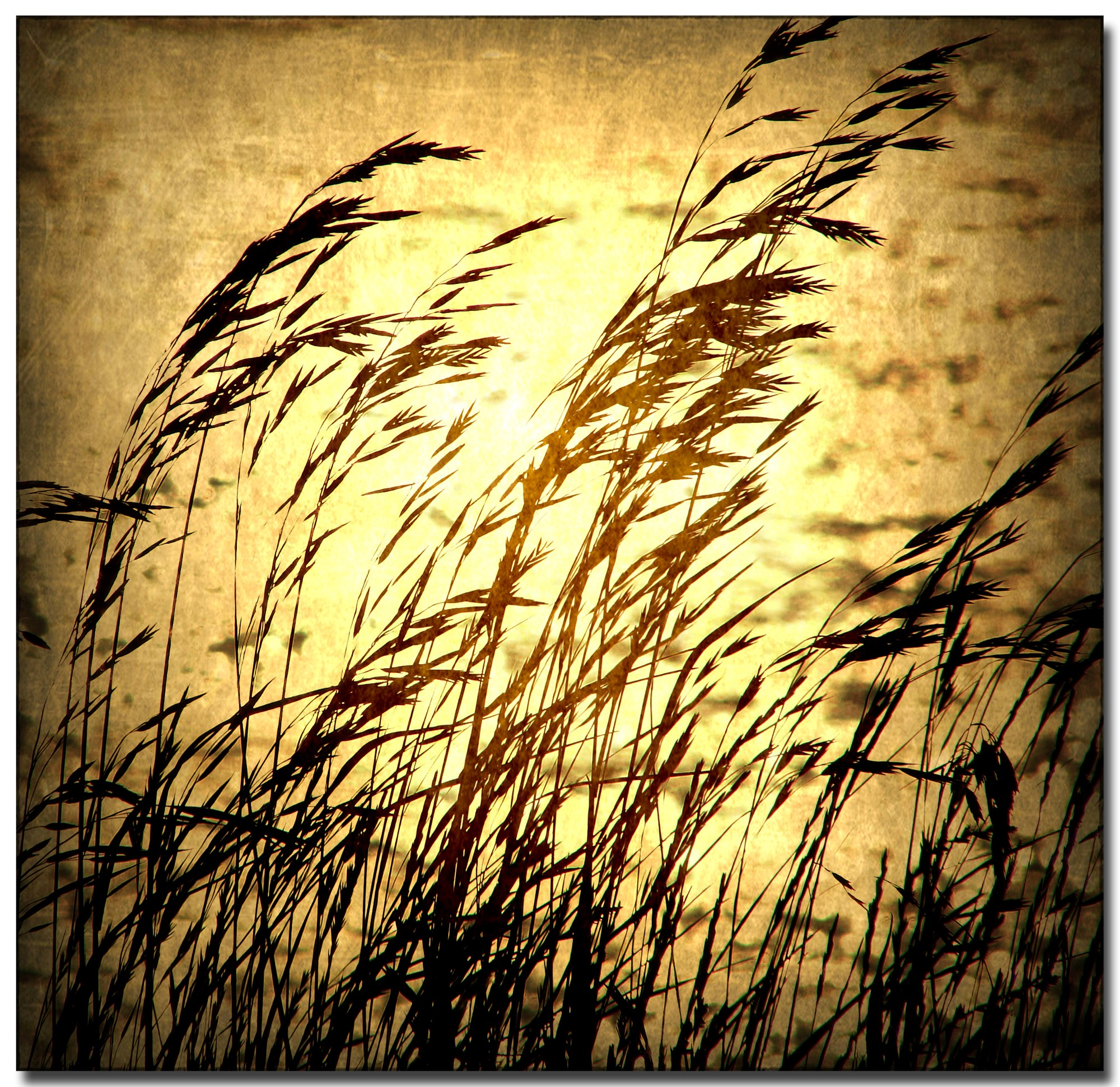 Silhoutted wheatgrass blowing against golden sepia background.