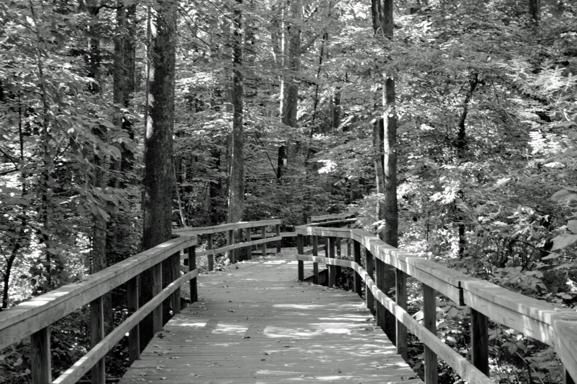 Black and white photo of boardwalk through nature at the Greensboro Bog Garden.